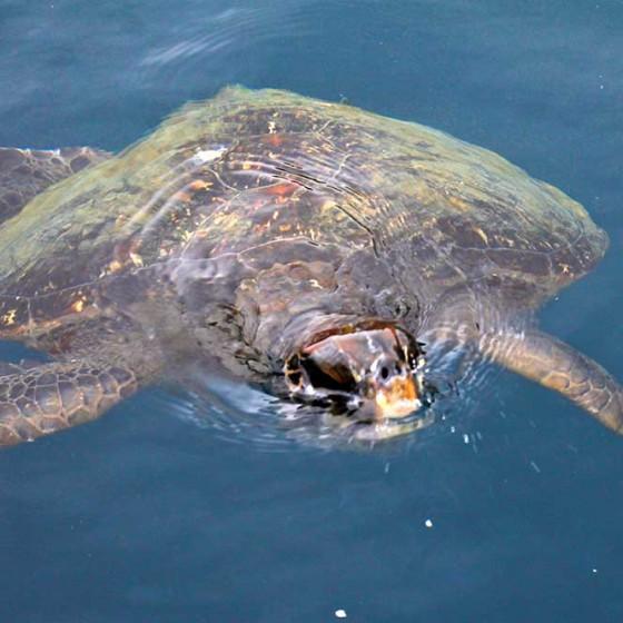 Plongée avec les tortues géantes