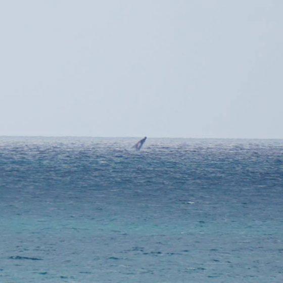 baleine en vue…