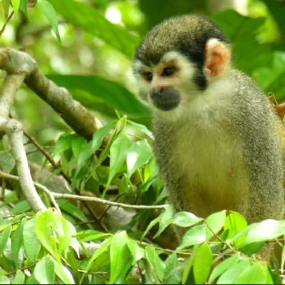 Pacoche Forest Ecuador Mono500