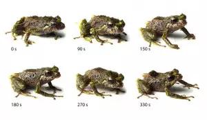 Découverte : Une grenouille «Transformer» en Equateur
