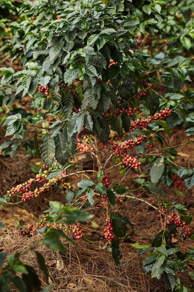 Un plan de café arabica de colombie